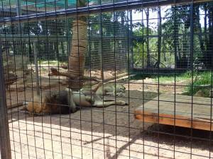 ライオン。暑さのせいで結構な動物がだらけていましたが、さすが百獣の王だけ あって、一番堂々とだらけていました。