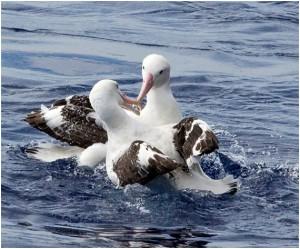 写真4.大アホウドリが2羽、戯れているところ。